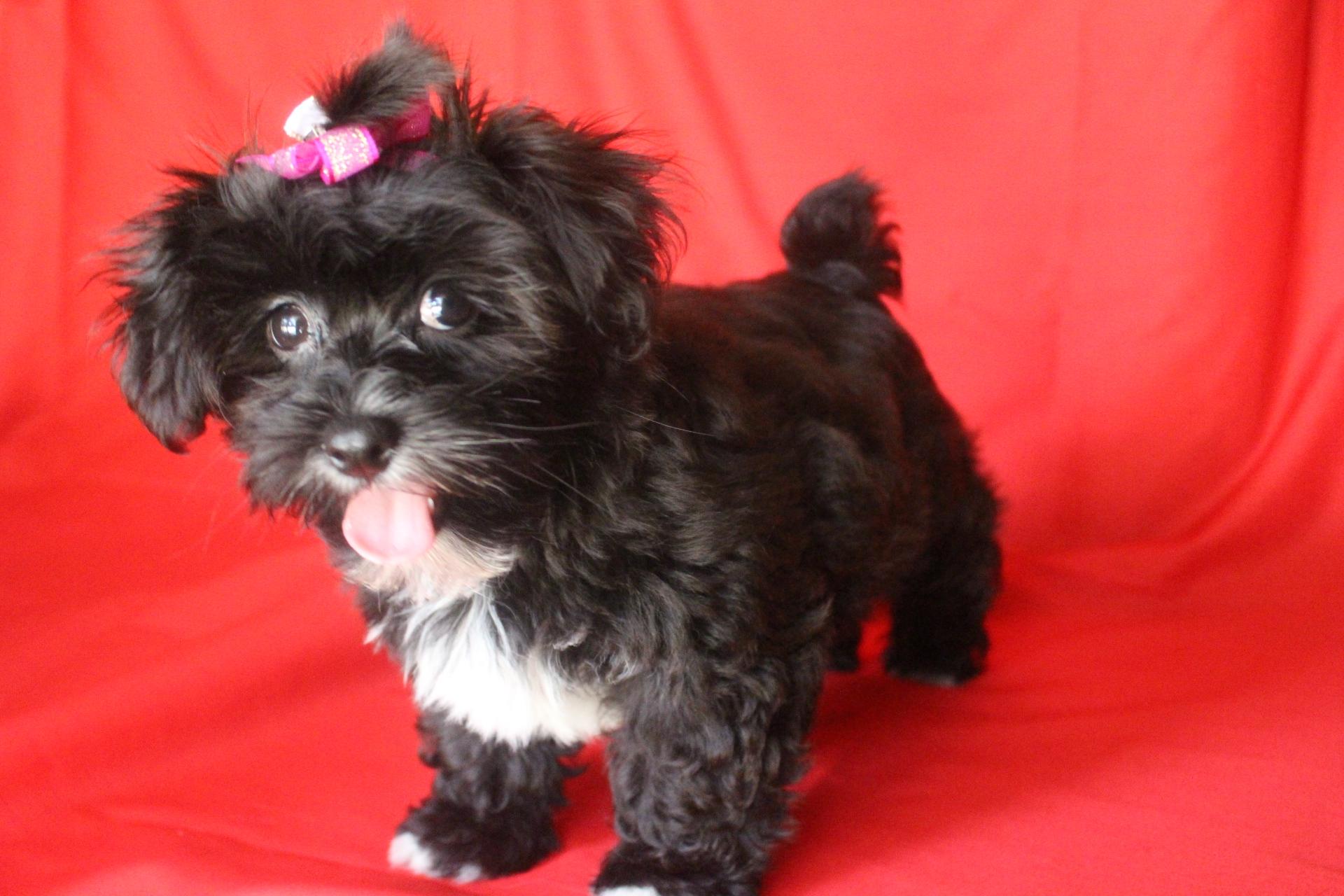 meet female a cute shorkie puppy for sale for 600 tessie