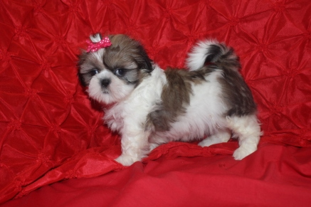 CKC Female Shih Tzu Ready Nov 19th Est. Adult weight 7lbs $1250
