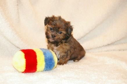 Riley Male ckc Morkie SOLD