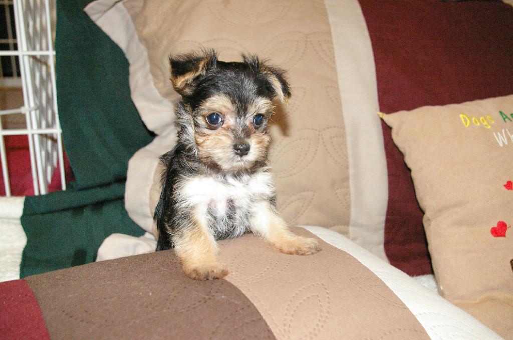 Teacup Yorkies Tlc Puppy Love