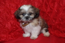 CKC Male Shih Tzu Est. Adult weight 8-9lbs $999