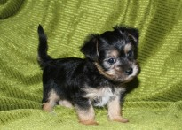 Louie Male CKC Morkie SOLD