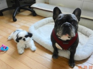 Cash Imperial Shih Tzu Joins His Big Brother Mario BEST FRIENDS!