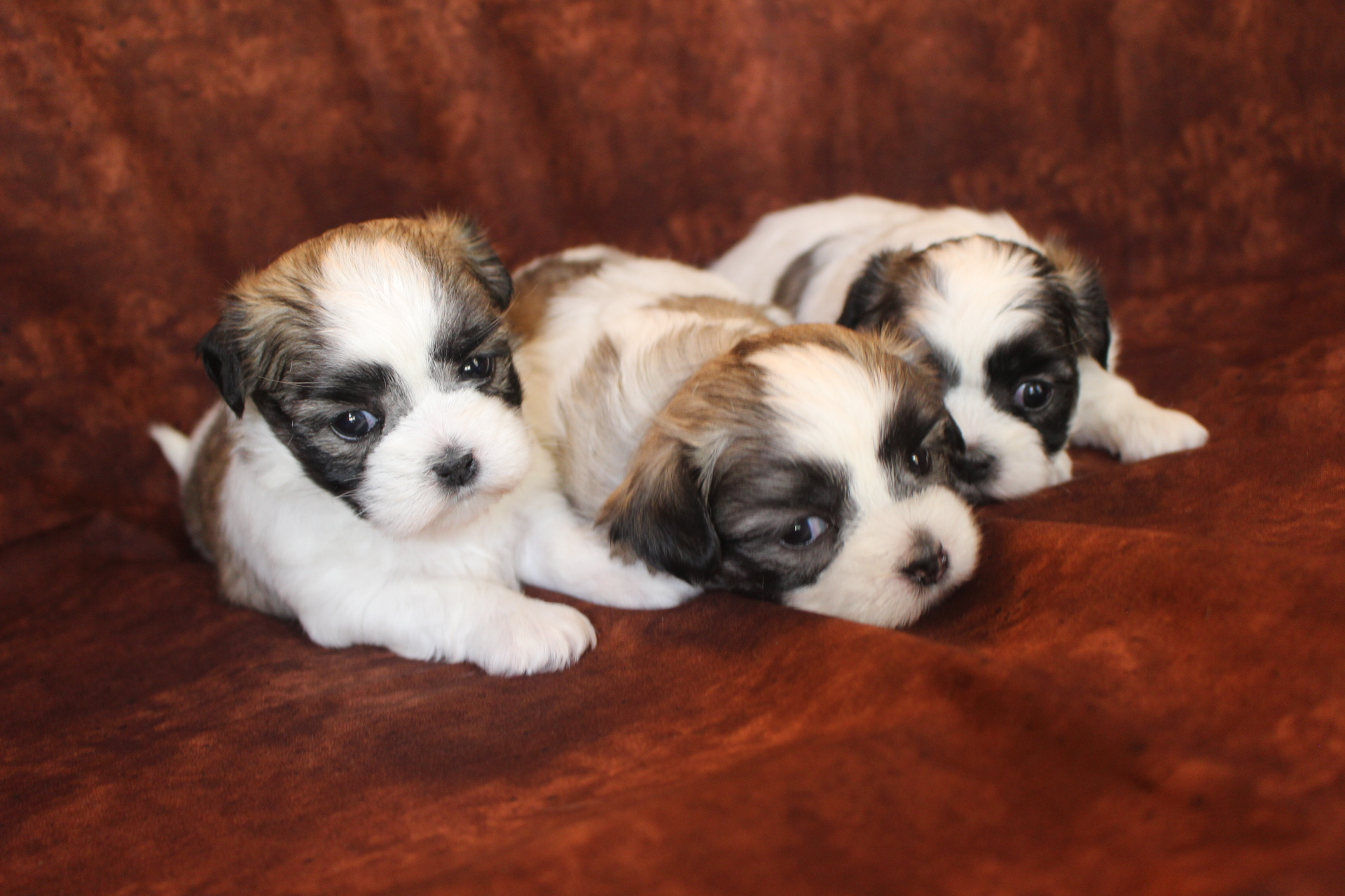 Malshi & Malshipoo – TLC Puppy Love