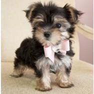 Morkie Male Puppy