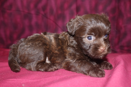 Reeses Male CKC Morkipoo SOLD