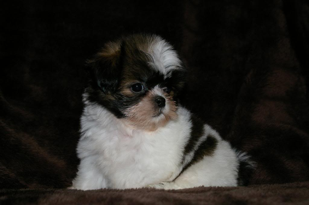 Imperial Shih Tzu Tlc Puppy Love