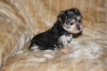 Tom Male CKC Morkie SOLD