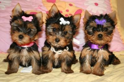 Yorkies – TLC Puppy Love