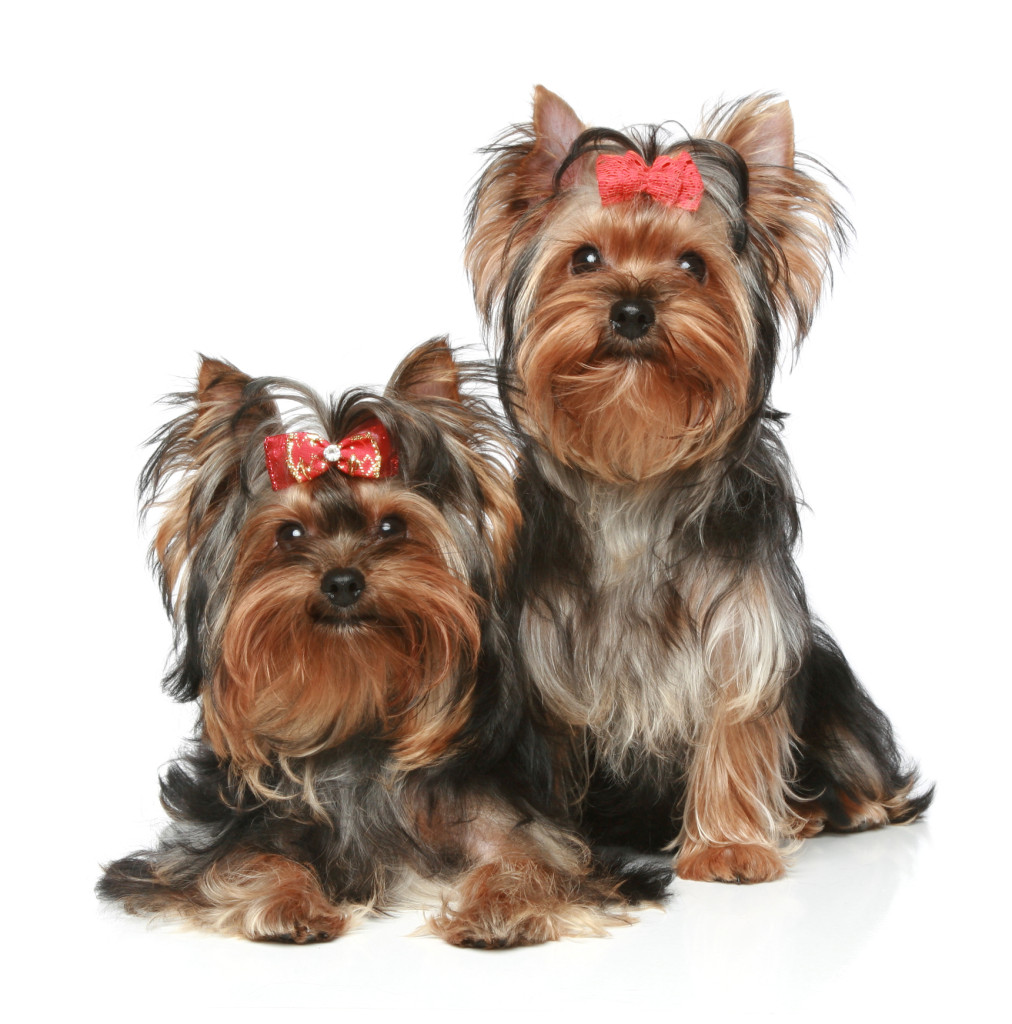 Yorkies Tlc Puppy Love