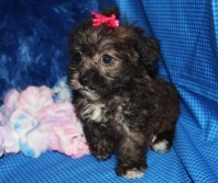 Baby Girl Female CKC Morkipoo SOLD