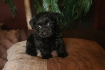 Levi Male CKC Morkipoo SOLD