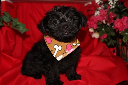 Pepsi Male CKC Morkipoo SOLD