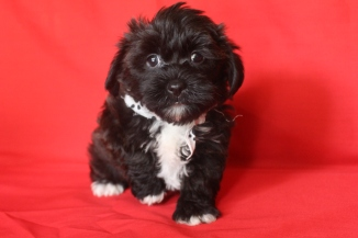 Socks Male CKC Morkipoo SOLD