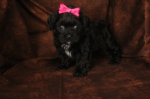 Channel Female CKC Morkipoo SOLD