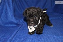 Cola Male CKC Morkipoo SOLD