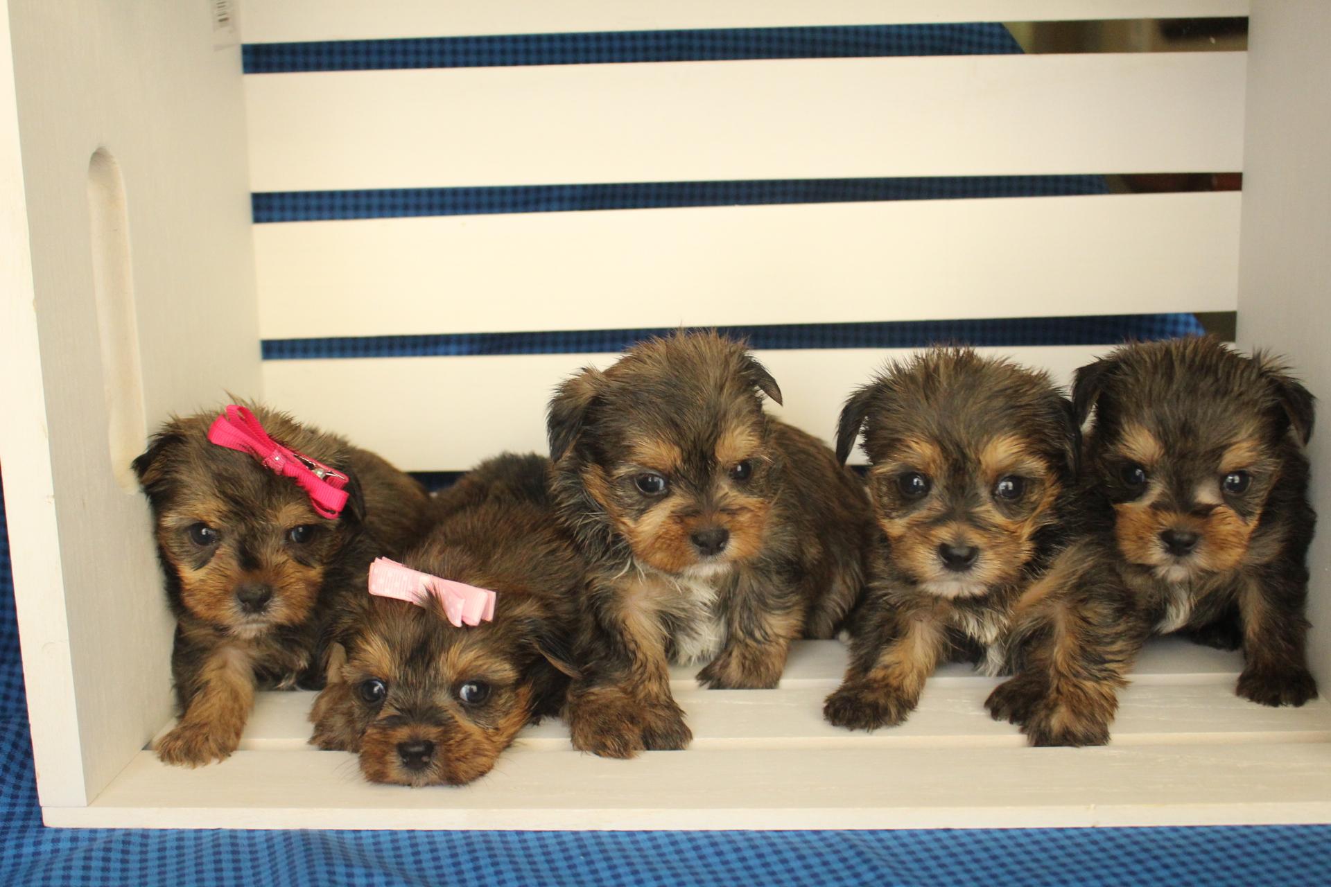 Shorkie Shorkie Poo Tlc Puppy Love