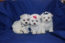 1Gracie Maltese Litter 6W5D OLD 052