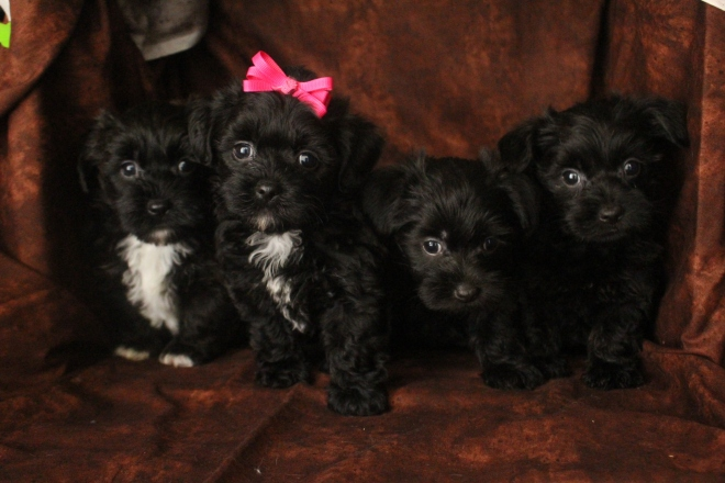 1W Hershey Moripoo pups 6 wks old