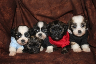 6Isabella Shihpoo Litter 4w5d old 003