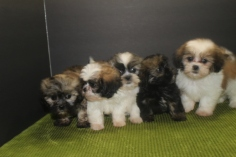 Isabella Shihpoo Litter 7w5d Old 009