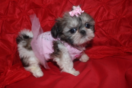 Female CKC Shih Tzu My new name is Tayla $1250 SOLD