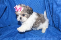 Female CKC Shih Tzu My new name is Lilly $1250 SOLD