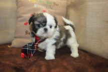Male CKC Shihpoo My new name is Ditka $1250 SOLD