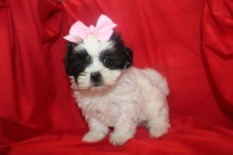 Harper Female CKC MalShi $1250 SOLD