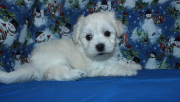 Bailey Male CKC Morkipoo $1250 HAS DEPOSIT