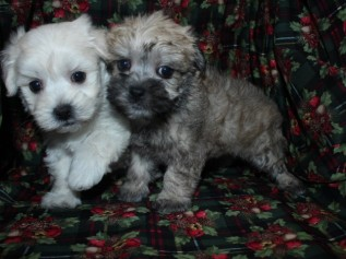 Morkipoo Litter SOLD