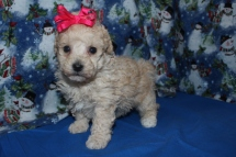 Holly Female CKC Poodle 5wks Old Ready Dec24th EAW 6.11LBS AVAILABLE $1500