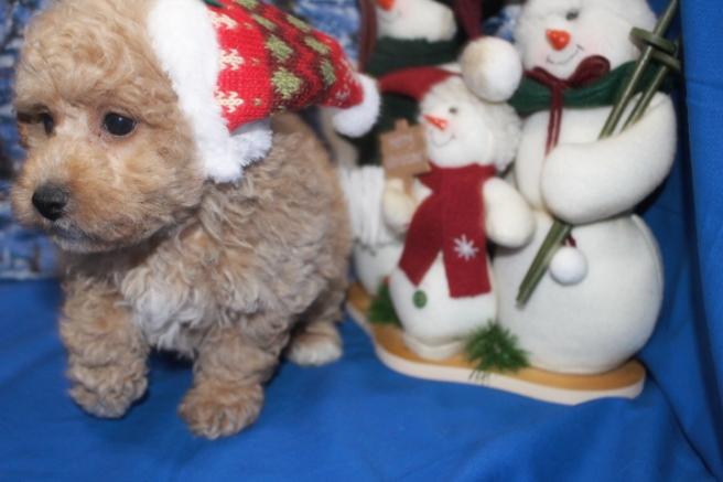 Noel Female CKC Poodle Born 10/29 Ready 12/24/14 $1250 SOLD