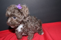 Missi Female CKC Malshipoo Ready now $1250 SOLD