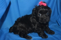 Micha Female CKC Malshipoo My name is Micha $999 SOLD