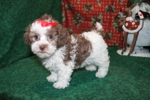 Minni Female CKC Malshipoo 9wks old Chocolate White $1250 SOLD