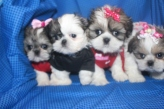 4 madison Shih Tzu Litter 6W5D 019