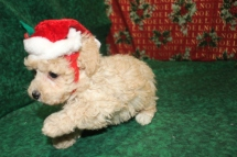 Holly Female CKC Poodle Ready Dec 23rd $1500 SOLD