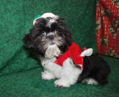 Oreo Male Imperial CKC Shih Tzu 16wks old EAW 8-9LBS Christmas Special $999 SOLD