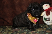 Ryn Male CKC Malshipoo $1250.00 SOLD