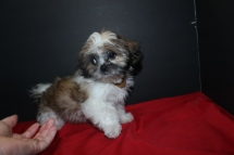 Snicker Doodles 14 wks old Male CKC Imperial Shih Tzu EAW 8.08LBS $999 AVAILABLE