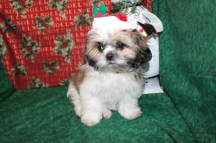 Snicker Doodles Male Imperial CKC Shih Tzu EAW 8-9LBS 16 Wks old Christmas Special $999 AVAILABLE