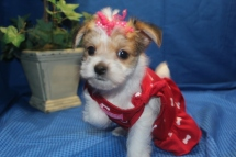 Lucy Female CKC Morkie Ready Feb 23rd $1500 SOLD