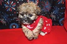 Bella Female CKC Shihpoo Ready Jan 4th $1250 SOLD