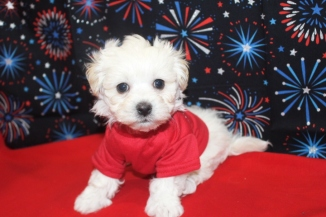 Cain Male CKC Shihpoo Ready Jan 4th $1500 SOLD