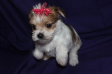 Lucy Female CKC Morkie Ready Feb 23rd $1500 HAS DEPOSIT!