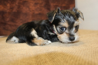 Desi Male CKC Morkie Ready Feb 23rd $1500 HAS DEPOSIT!