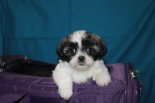 China Female CKC Malshi Ready Jan 27th $1250 SOLD!