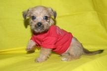 Heartthrob Male CKC Shorkie Ready March 9th $1500 AVAILABLE