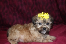 Little Angel Female CKC Shorkie Ready March 9th $1500 AVAILABLE